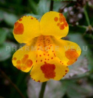 Fleur de bach mimule mimulus for Vente de fleurs en ligne